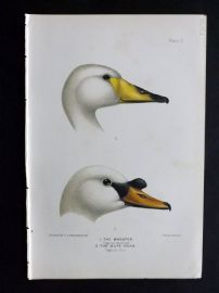 Baker & Gronvold Indian Ducks 1908 Antique Bird Print. The Whooper & Mute Swan